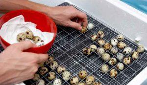 How to lay quail eggs