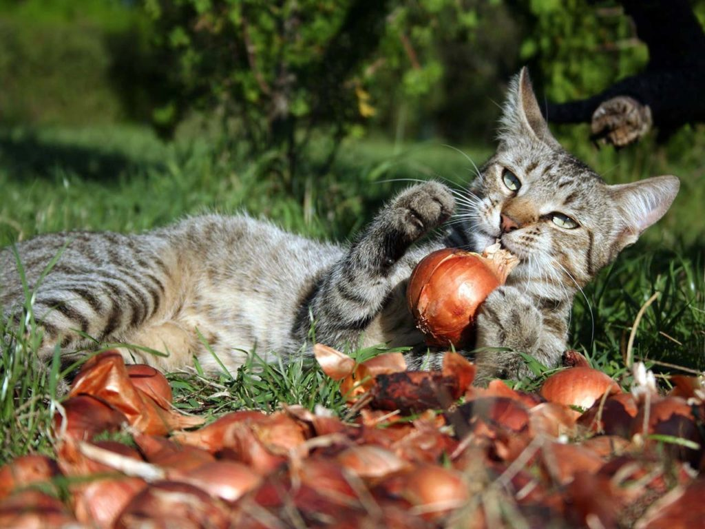 Onion and garlic - can cats eat this