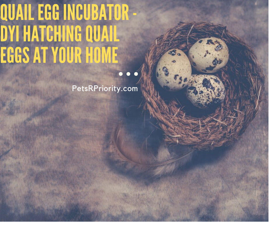 Quail Egg Incubator - DYI or Hatching quail eggs at your home