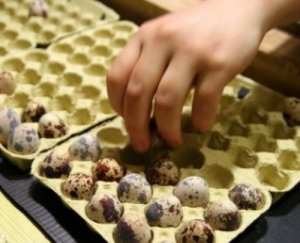 Quail eggs hatching regimes - hatchery features