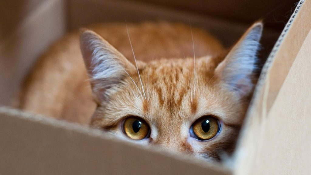 Warm corner cat peeping out of a box