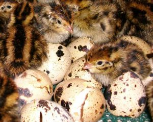 When the quail hatched, what incubation day