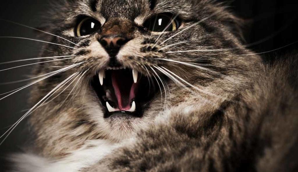 Aggressive cat breeds