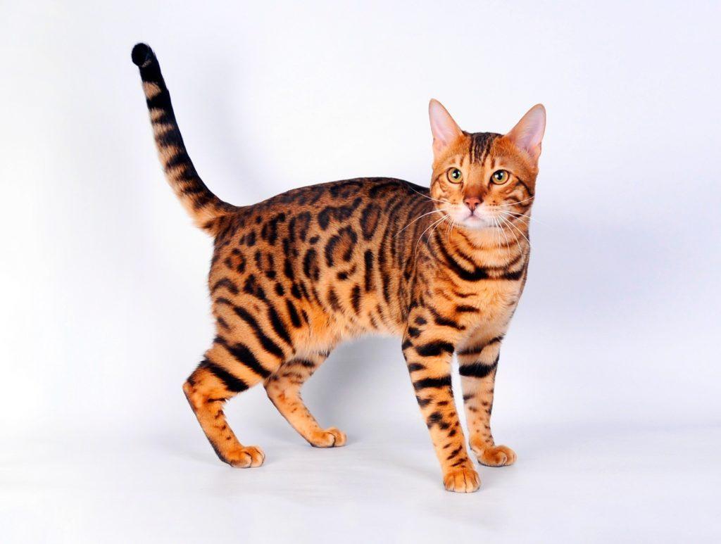 Bengal pretty cats