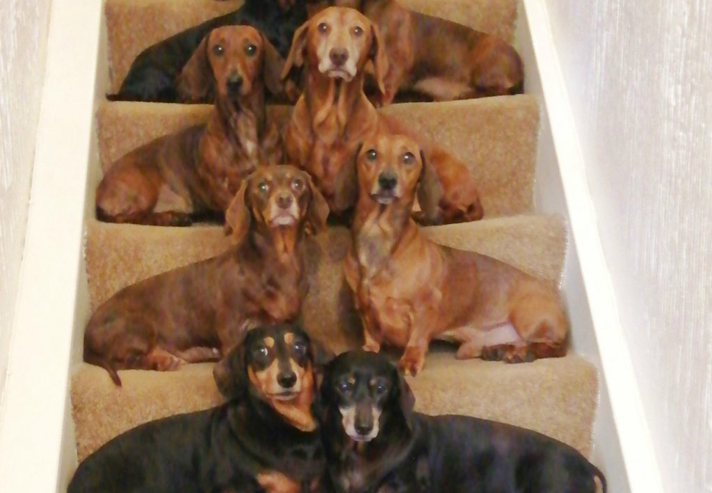 Existence of several types of dachshunds
