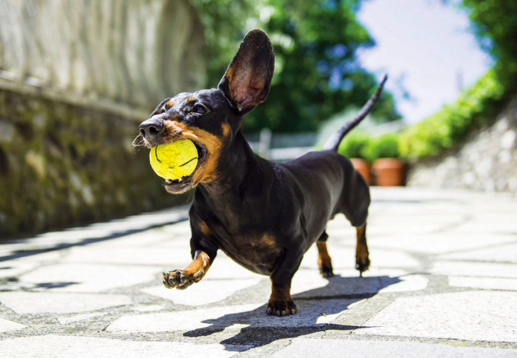 Miniature Dachshunds - Optimism and activity