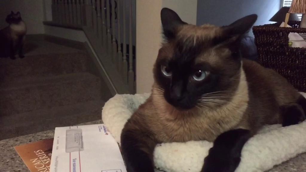Siamese - Aggressive Cats