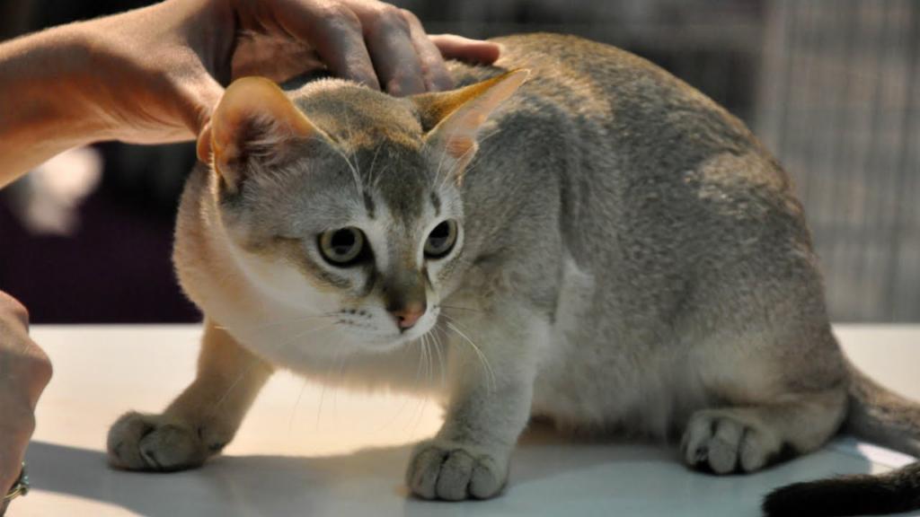 Singaporean - Aggressive Cats