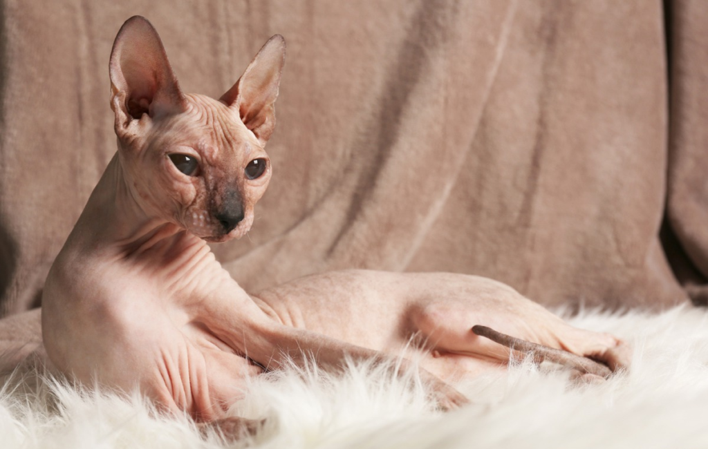 Sphinxes - Aggressive cat breeds