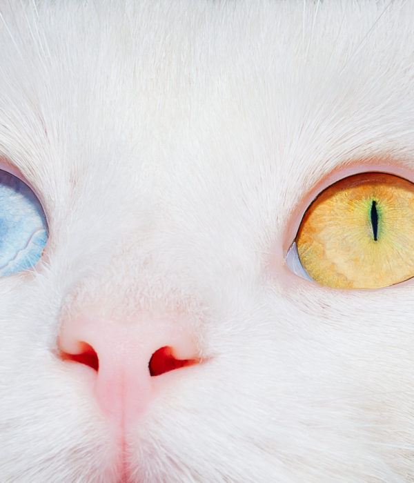 Cat Eyes meaning – Pictures, breeds| why changes| Albinos