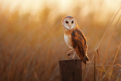 The barn owl is a species of bird of prey