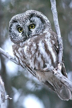 Northern owl (Aegolius funereus), one of the raptors