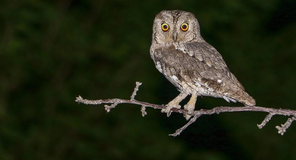 Autillo (Otus scops) on a branch