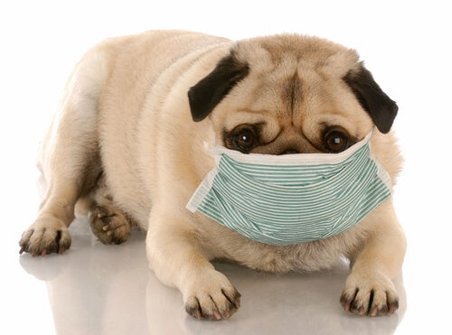 Dog with allergy mask