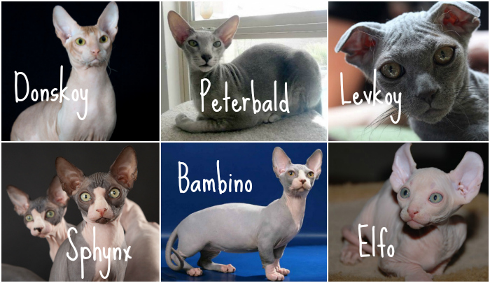Sphinx cats breeds hairless cats