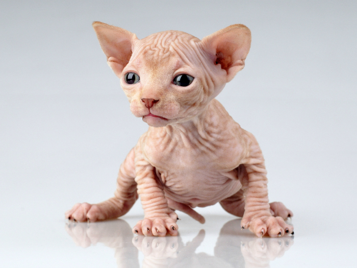 Egyptian cats, sphinx cats, Sphynx cats