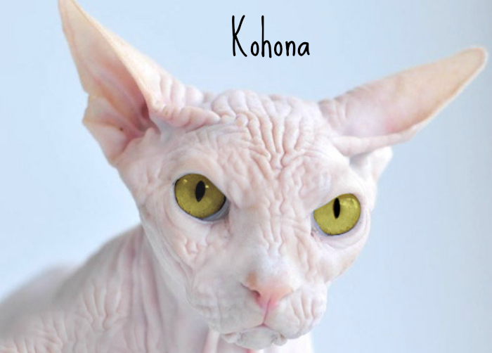 Kohona hairless cat sphinx cats