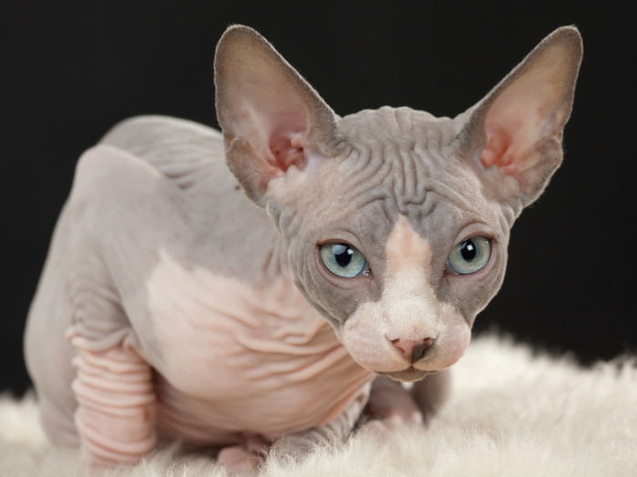 Curiosities about sphinx cats