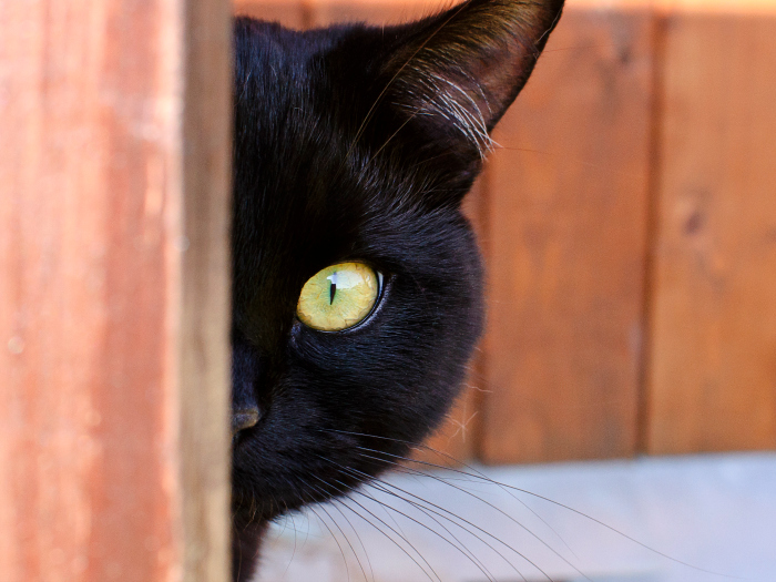 Black cats curiosities