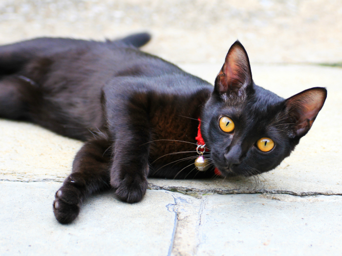 Curiosities and interesting facts about black cats
