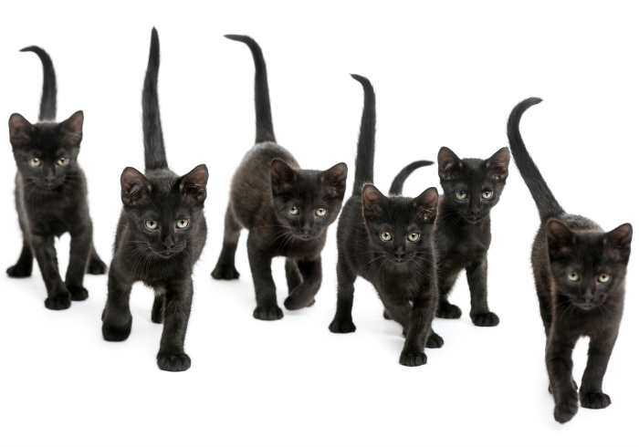 Curiosities about black cats