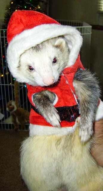 dressed ferrets