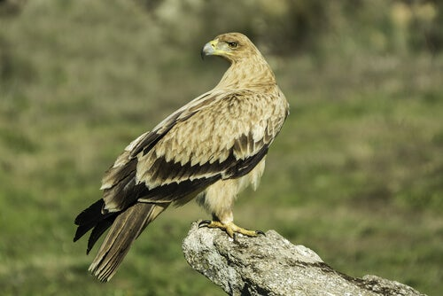 The Iberian imperial eagle and its conservation –– My animals