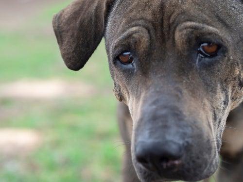 Do dogs cry like humans?