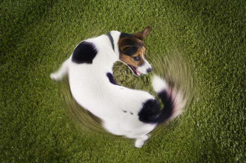 Why do the dogs chase their tails?