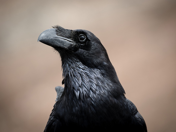 17 amazing curiosities about crows