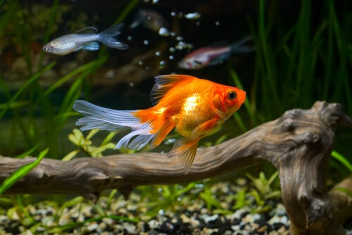 Can water quality be the secret to the health of a goldfish? - My animals