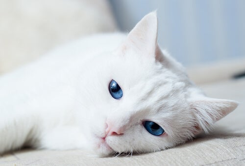 Why are some white cats deaf?
