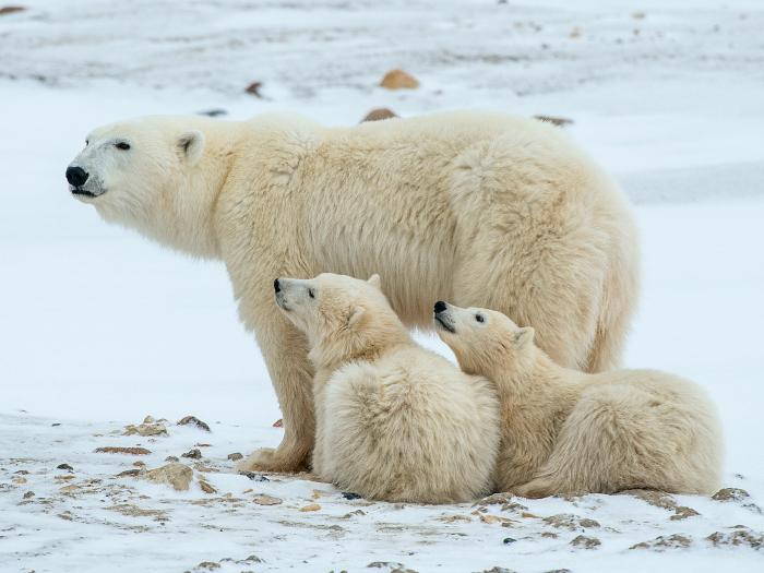 Mom polar bear