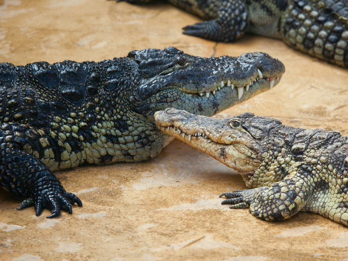 Mom crocodile
