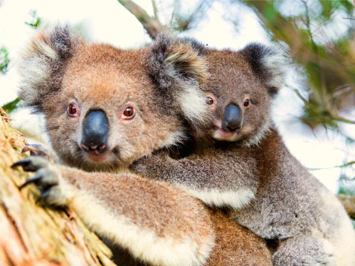 Mom koala