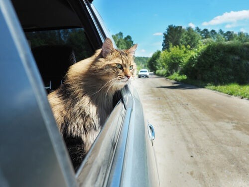 Cat traveling by car pokes its head