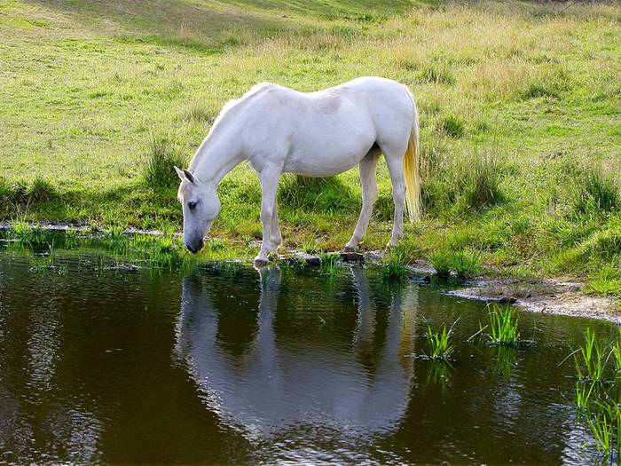 how much water a horse drinks