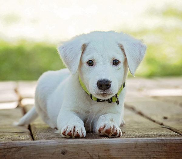 Perros madurez adultos
