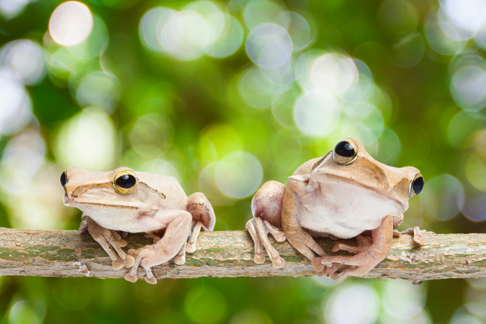 Frog Coquí