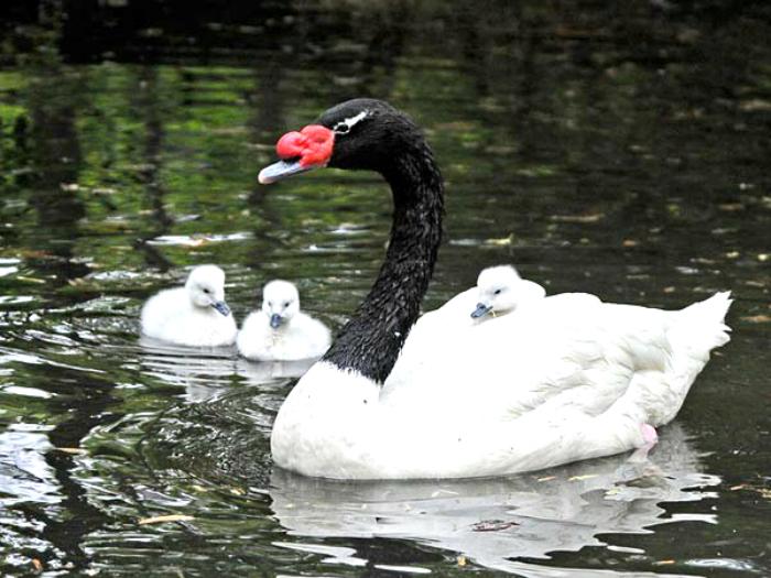 Black neck swan