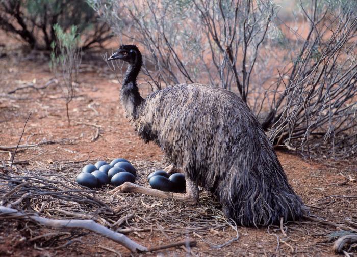 Emu male