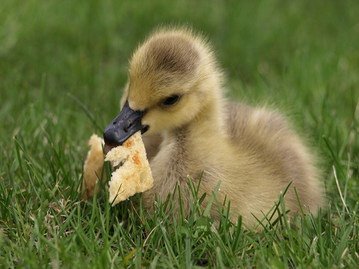 What do ducks eat? Ducks and their food