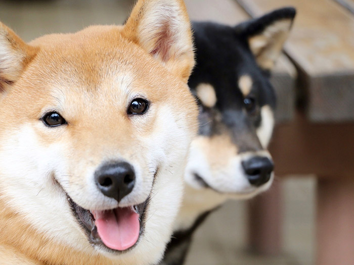 Differences between Shiba Inu and Akita