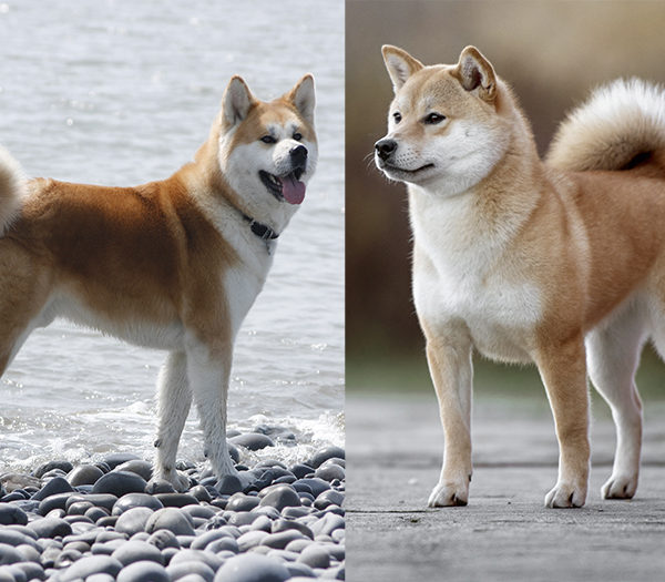 How is an Akita different from a Shiba Inu?