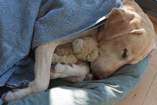 Dog sleeps with stuffed animal