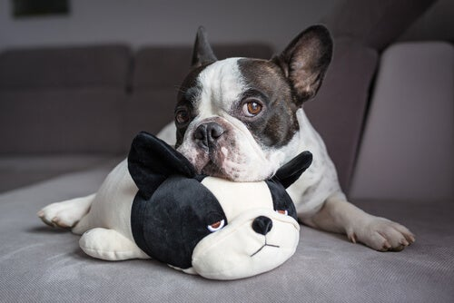 Infertility in dogs – Diagnosis and treatment