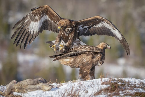 The conservation of Spanish eagles –– My animals
