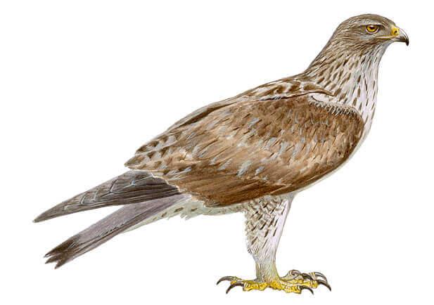 Bluebird Eagle (Aquila fasciata)