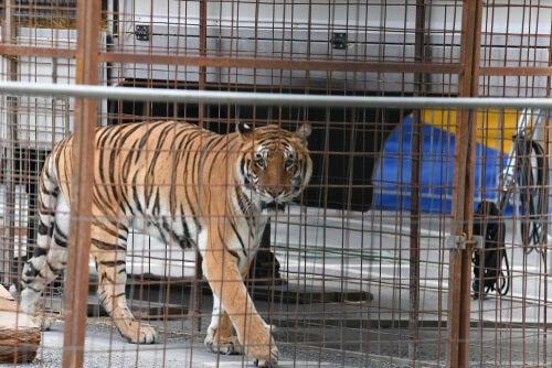 Wild cats in captivity: diseases –– My animals
