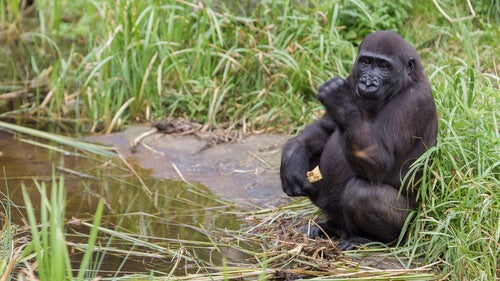 Why do gorillas wash the fruit?